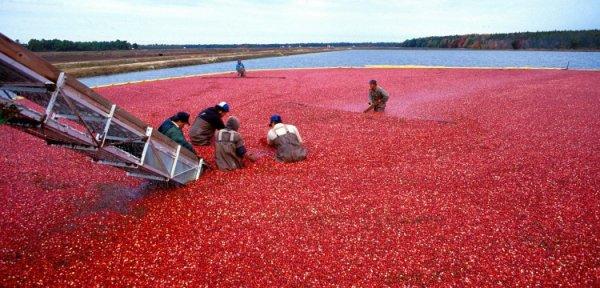 Réponse : Il s'agit d'une méthode de récolte de cranberries ou canneberges.