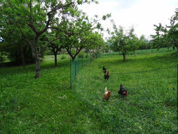 Notre coq Arthur et sa cour cet après-midi.