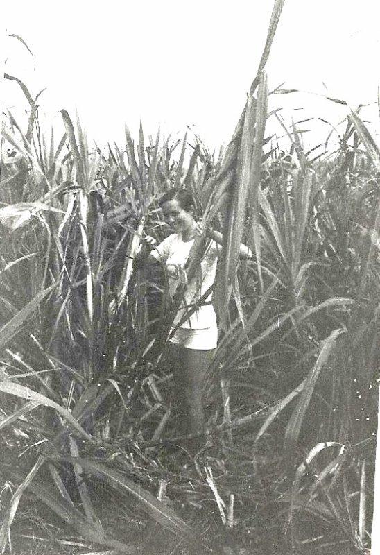La Réunion, au milieu d'un champ de cannes à sucre en 1972 ...