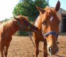 Photo de Vente-poney-cheval