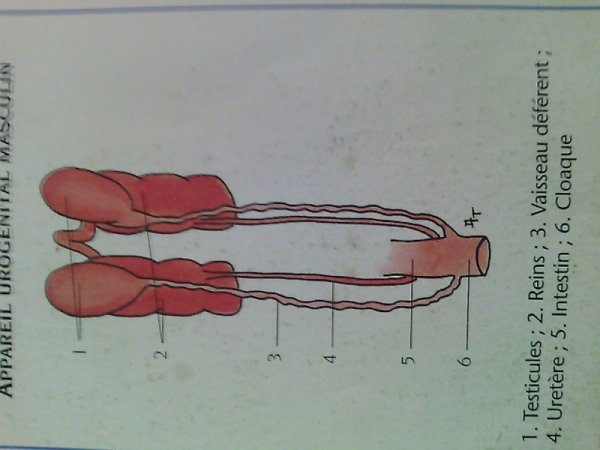 appareil urogenital masculin