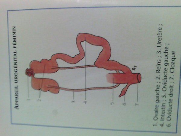 appareil urogenital feminin