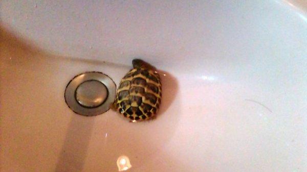 bébé tortue dans son bain