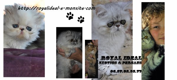 ROYAL IDEAL Exotics & Persans