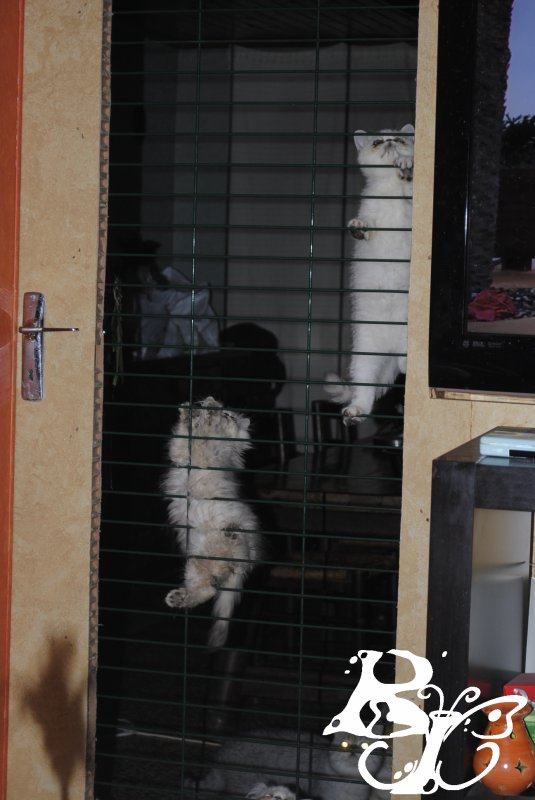 Je croyais que le persan était un chat qui ne bougeait pas...