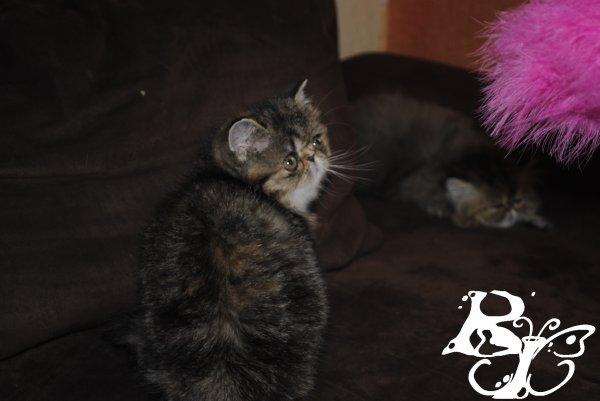 Femelle Exotic Brown Tortie Tabby - 1200¤