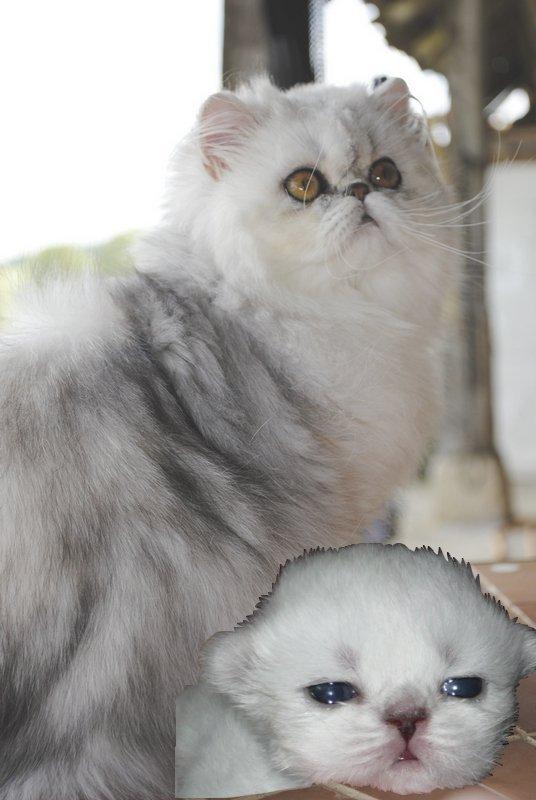Voici Tite Souris, pour rappeler que le silver yeux oranges à AUSSI sa place!!