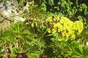 146     Fleurs de Madère
