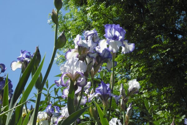 211    Bouquet d'iris