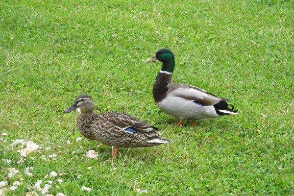 216   Les canards