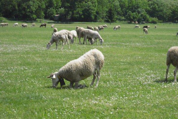 227    Histoire de moutons....