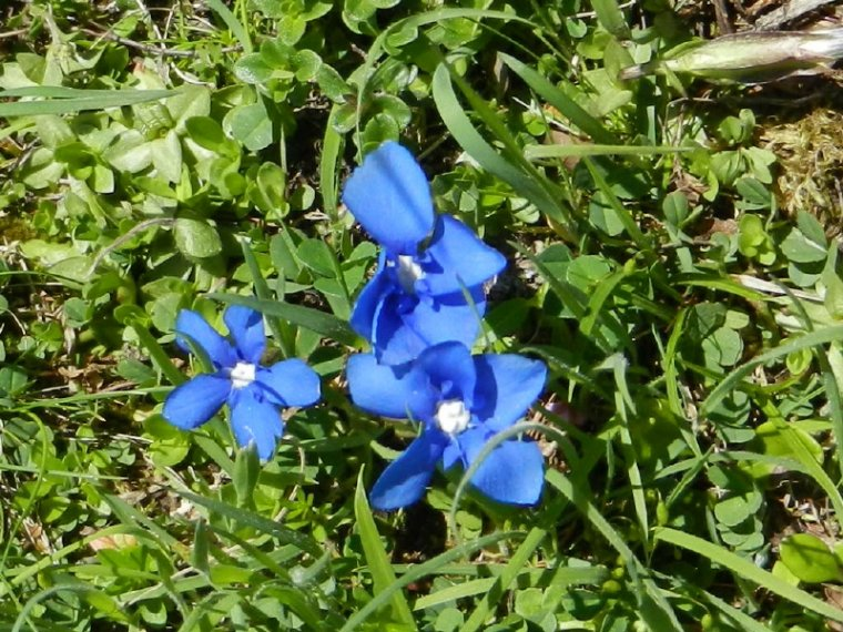 436   Gentianes bleues...