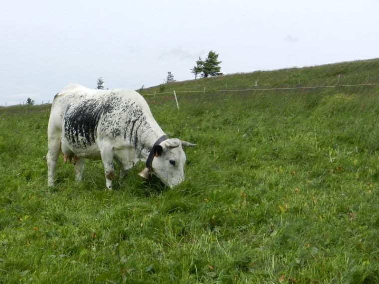 444   Vaches vosgiennes