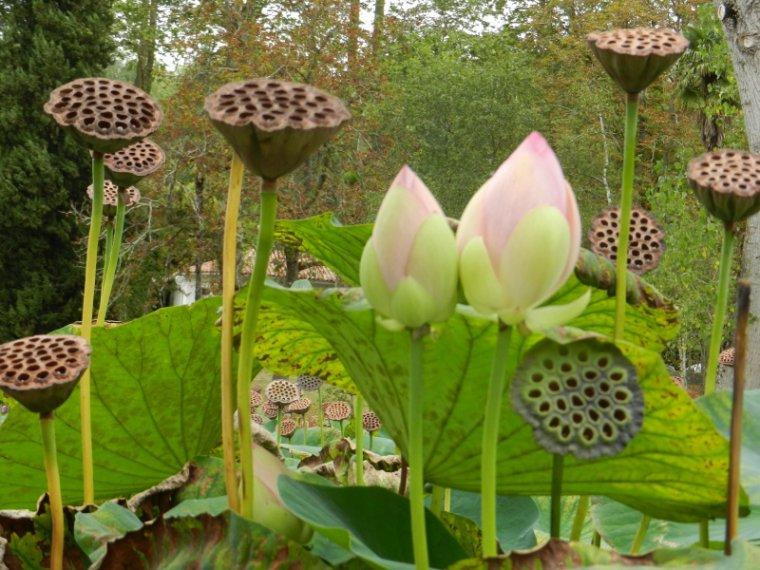481 Lotus Blog De Alpeflor
