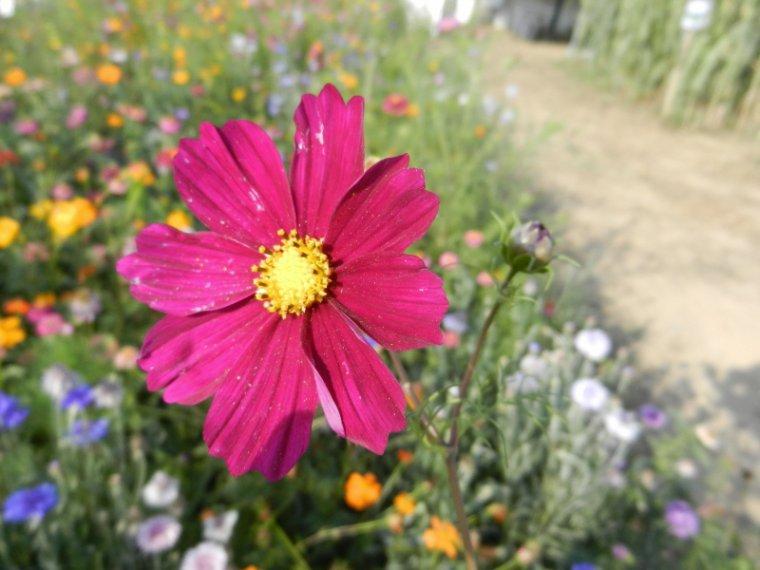 495  Fleurs de jachère