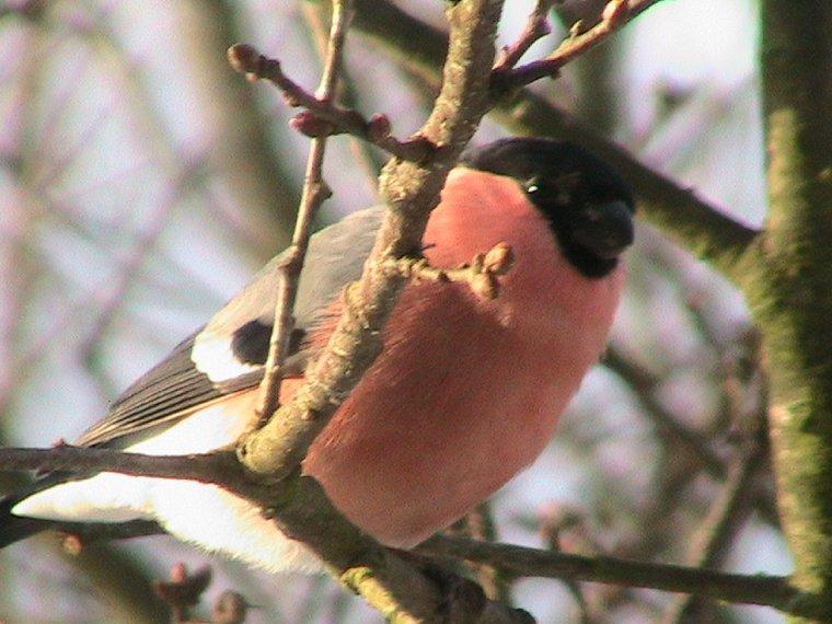 532 Oiseaux au jardin