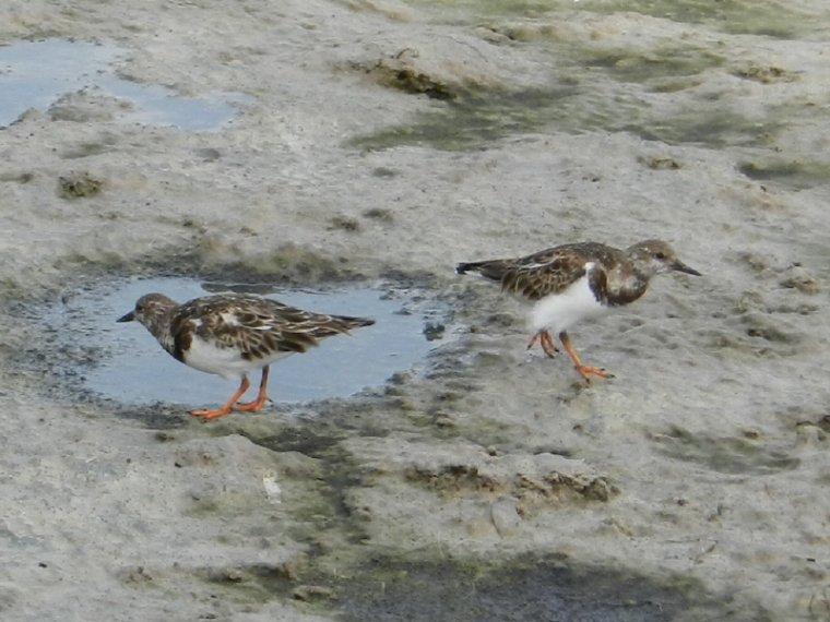 551  La Martinique: oiseaux