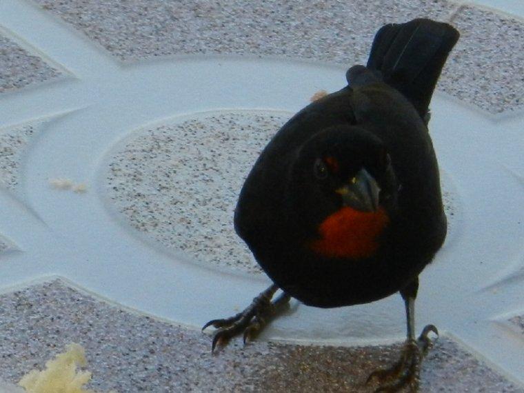 552  La Martinique : oiseaux