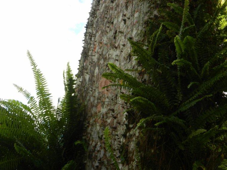 554  La Martinique : arbres