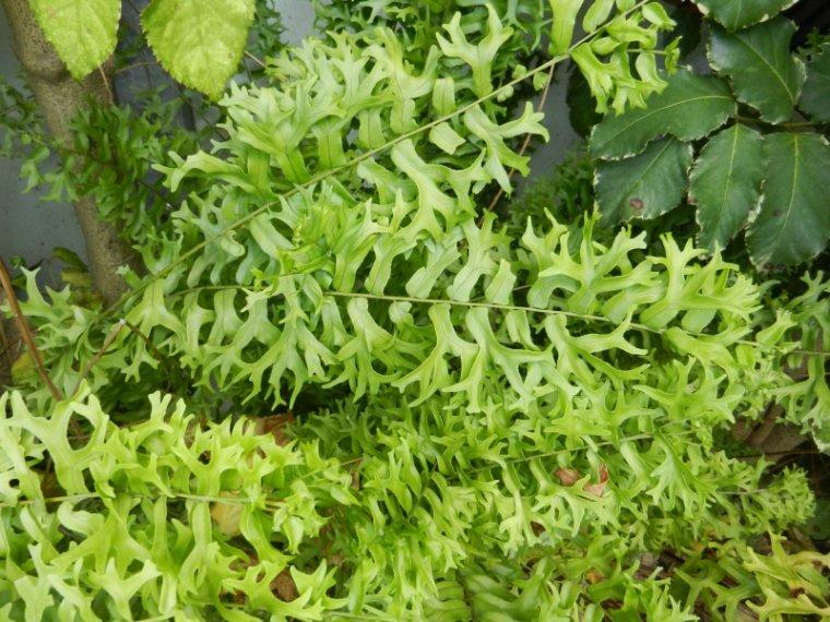 560  La Martinique: plantes vertes et fleuries...