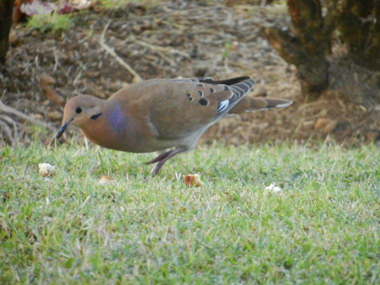 564  La Martinique : oiseaux