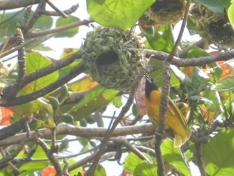 574  La Martinique: oiseaux