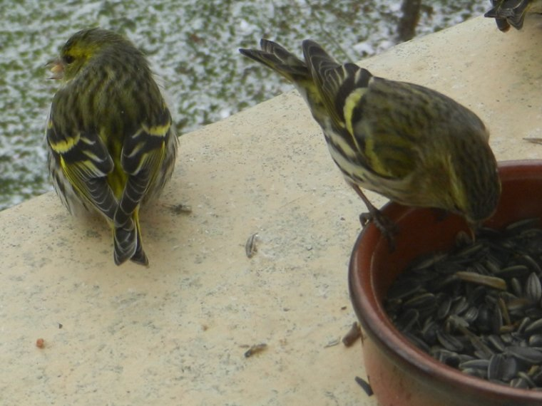 580  Oiseaux au jardin