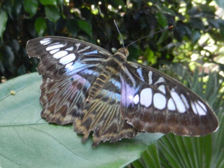 803  Papillons exotiques