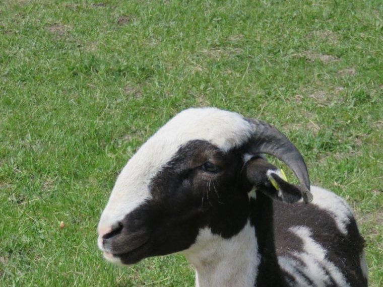 938   Gentils moutons...