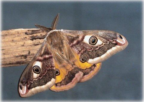 1053  Papillon de nuit...