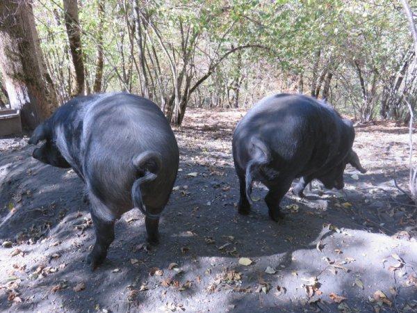 1179  Les trois petits cochons...