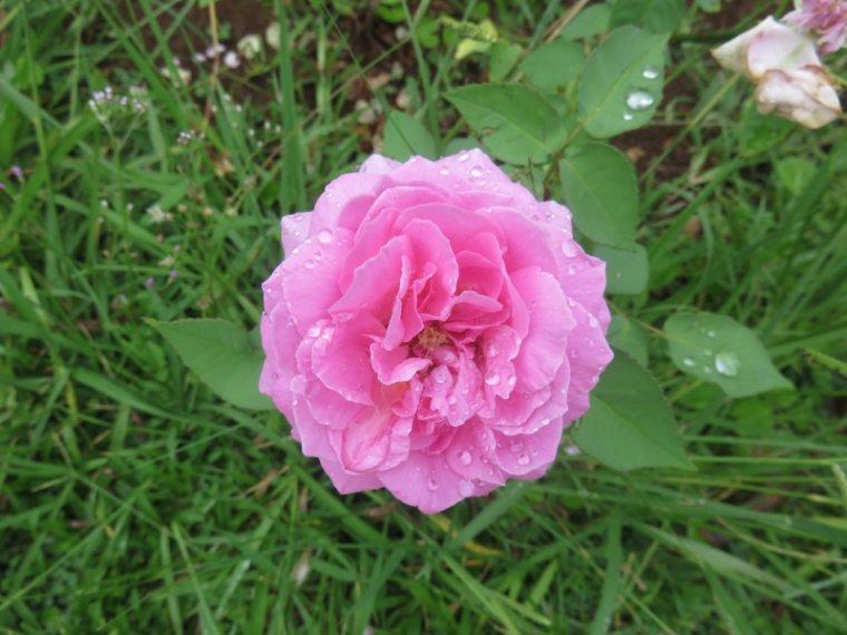 1223  Rose de Bourbon