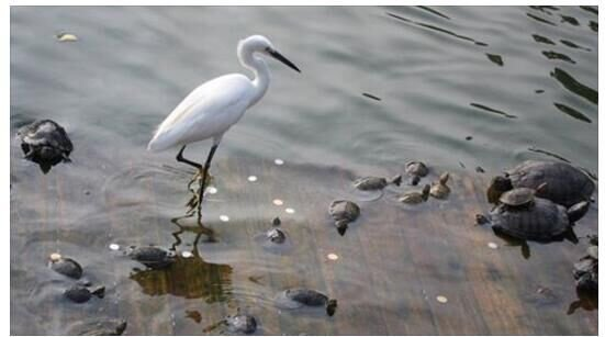 Egrets and turtles,beautiful picture!