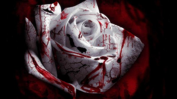 rose blanche a seng