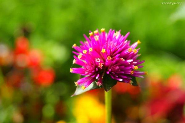 Diverses fleurs,