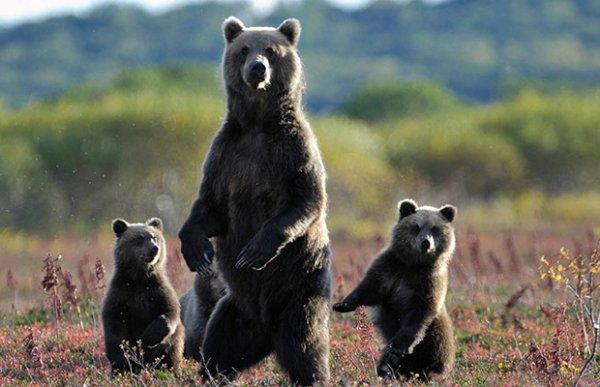 Les ours.