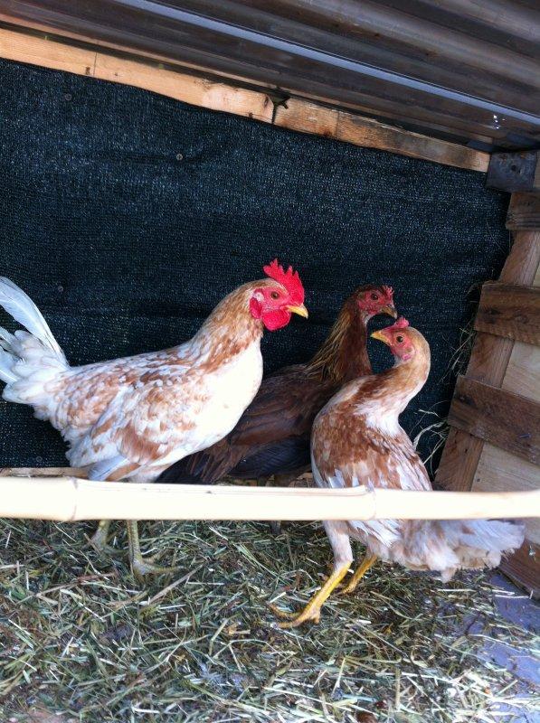 Jeune coq poule de 7 mois et deux poules