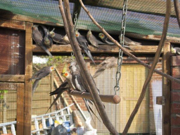 hier een enkele van onze valkparkieten
