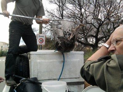 Réapprovisionnement de truite arc en ciel dans l'huvaune