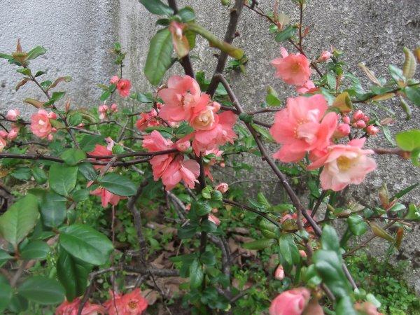 Cognassier du Japon en fleurs