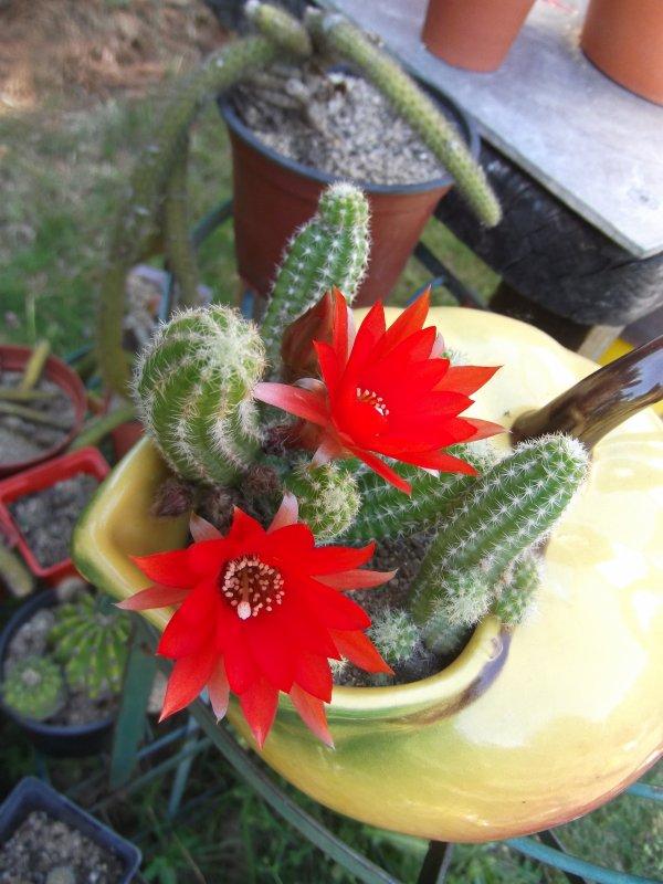 Cactus, cactus, nouvelle potée