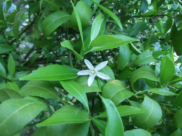 Fleurs d'agrumes