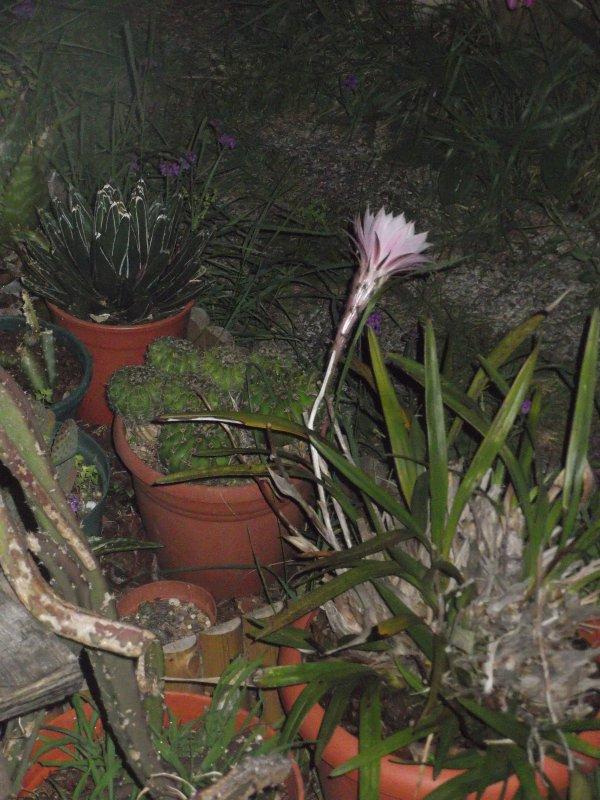 Reportage en différé cette année : echinopsis oxygona