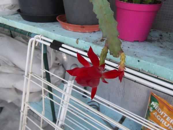 Epiphyllum ou épicactus ou cactus orchidée.