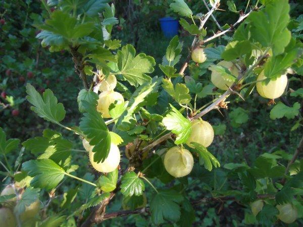 Un fruit que j'adore : la groseille à maquereaux, la blanche!