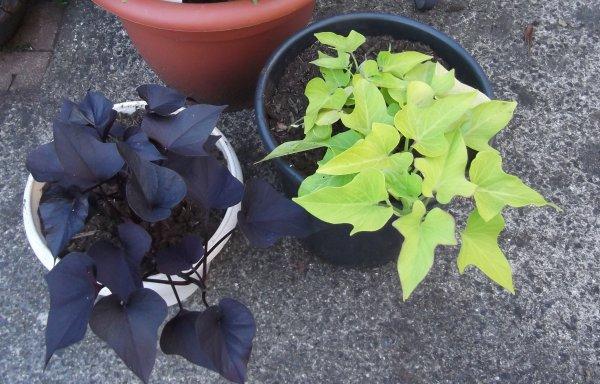 Des ipomées feuilles, à découvrir ou redécouvrir!