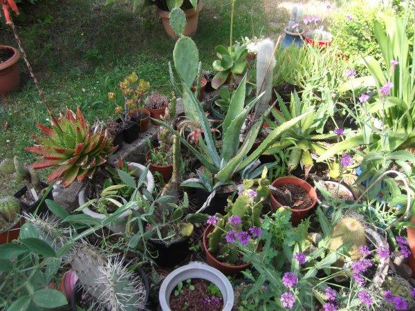 Fleurs de plantes grasses