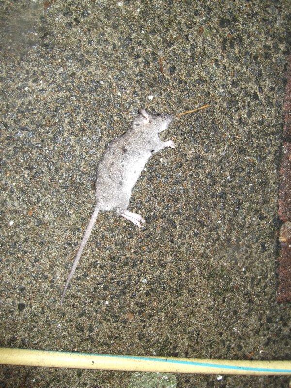 Tueurs de rat