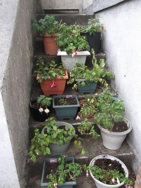 Fuchsias 3 l'escalier de la mort, non, de la verdure!