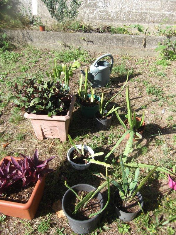 Epiphyllum ou cactus-orchidées, mes boutures